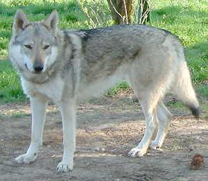 Slowakische Wolfshunde